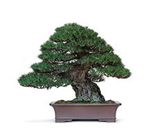 日本盆栽「小さな巨木」-盆栽を体感する